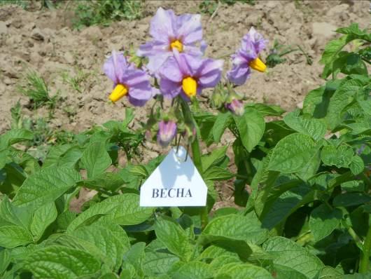 весна белая картофель фото